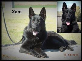 black german shepherd xam